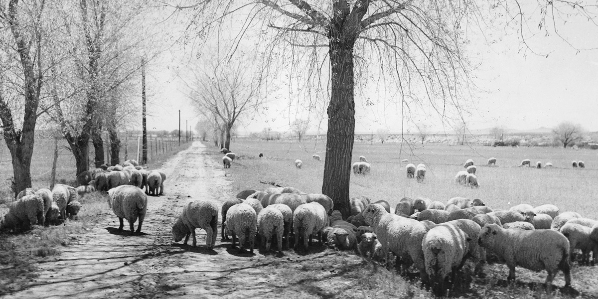Sheep in the Rio Grande Valley